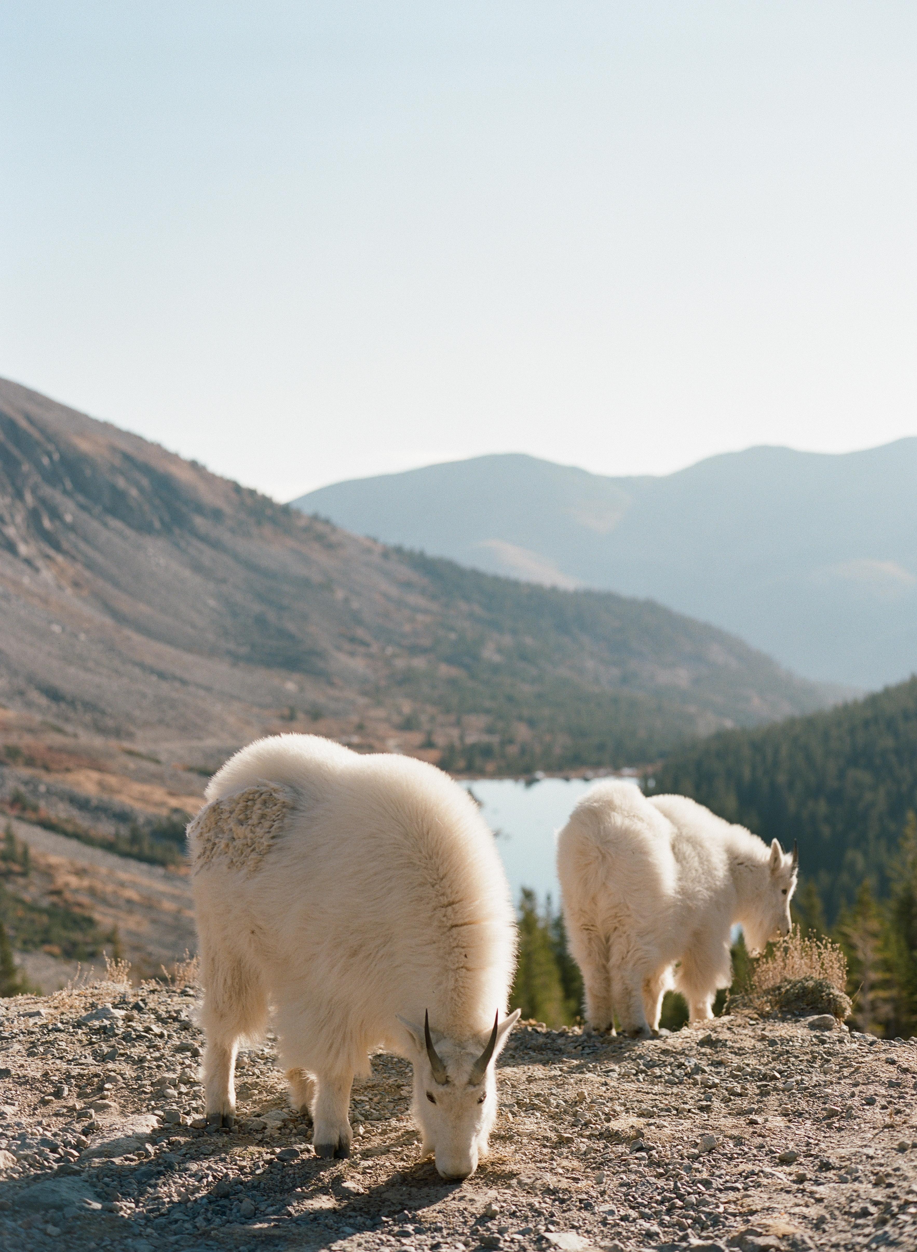 Blue-Lakes-Breckenridge-VRBO-Elopement-Wedding-Mountain-Goats-in-the-Summer